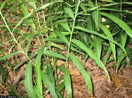 native ginger plant plants profile for zingiber officinale garden ginger