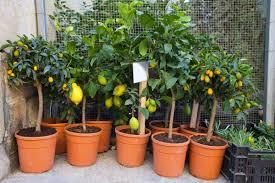 container gardening growing citrus farmers almanac
