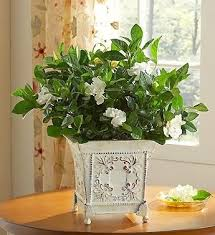 Fragrant Potted Plants - 155 best flores gardênias images on pinterest gardenias