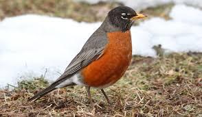 robins in winter duncraft