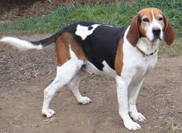 bluetick coonhound jack russell mix view ad treeing walker coonhound dog for adoption ohio