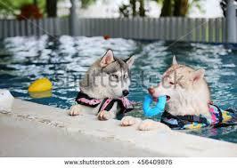 both siberian husky wear life jacket stock photo 456410008