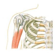 Which Cell Helps In Movement Of Bones Shoulder Anatomy Function Bones Ligaments Cartilage Tendons Bursa