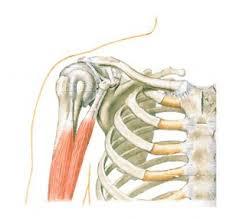 Human Shoulder Diagram Shoulder Anatomy Function Bones Ligaments Cartilage Tendons Bursa