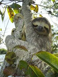 slothful trends in evolution from walking giants to tiny tree
