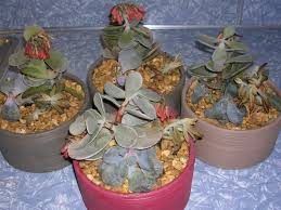 succulent plants problems overwatering world of succulents