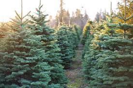 live christmas trees farms live christmas tree care