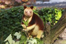 random facts about tree kangaroos you really can u0027t ignore