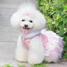 poodles long hair in winter new fashion floral pattern party cute pets dresses for dogs small