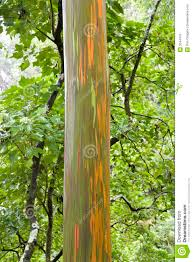 rainbow eucalyptus tree royalty free stock images image 2044479