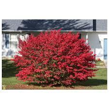 ornamental shrubs growers solution