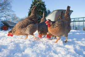 Keeping Free Range Chickens In Your Backyard Live Q U0026a Raising Chickens In Winter Backyard Poultry
