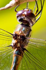 25 best dragonfly faces images on pinterest dragonflies insects