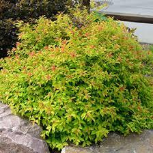bushes shrubs hedges for sale nature nursery