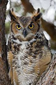 long eared owl ok chris the other friends pinterest