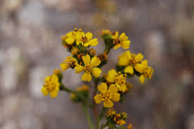 tarweed native plants observation hotline calflora