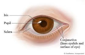 Anatomy Of A Cats Eye Eye Structures Front And Side Views