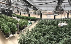grow hack get better flavors with indoor no till cannabis