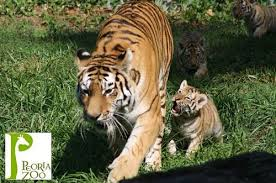 amur tiger cubs play in the sun at peoria zoo zooborns