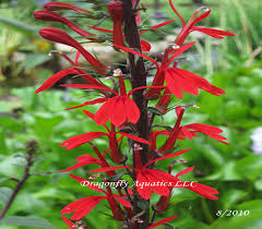 cardinal flower cardinal flower archives dragonfly aquatics