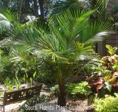 young arikury palm plants for south florida pinterest palm