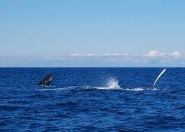 whale watching in massachusetts massachusetts whale watching tours
