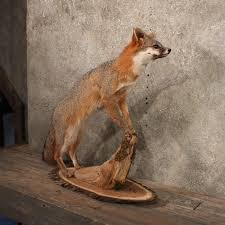 Taxidermy Fox Meme - grey fox life size laying taxidermy mount on wood for sale