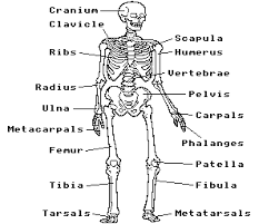 human skeleton quiz acorn electron world