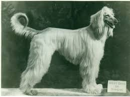 afghan hound in apartment seven ancient dog breeds you u0027d love to own now