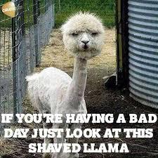 Llama Meme - a other not stolen meme album on imgur