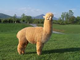 Alpaca Sheep Meme - long neck sheep album on imgur