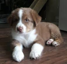 south texas australian shepherd hill country aussies home facebook