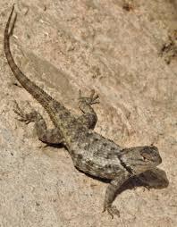 tucson native plants desert spiny lizard tucson herpetological society
