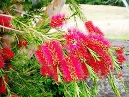 how to create an australian native garden