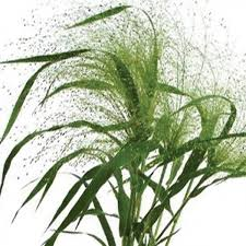 ornamental grass seeds panicum frosted explosion hardy annual