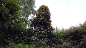 best australian native hedge plants the best trees to plant in brisbane b and r tree services