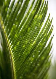 palms for palm sunday where do palms for palm sunday come from some are home grown