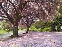 pink blossom under trees desktop background 1024x768 pixels