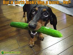 Weiner Dog Meme - 15 funny dachshund photos