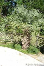 Palm Trees Fruit - palm tree fruit toxic to dogs is strawberry a fruit