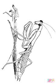 high quality free praying mantis insect coloring pages printable