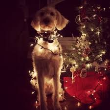 112 best labradoodle images on pinterest animals puppies and dog