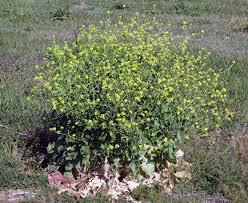 plants native to north texas the u0027yellow peril u0027 of wildflowers