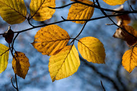 awesome autumn leaves colour chemistry explained forestry