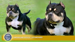 american pitbull terrier natural ears standard the american bully registry