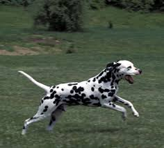saved dogs dalmatian carriage dog style