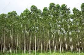 what are fast growing trees in india updated 2017
