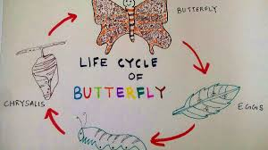 how to draw butterfly life cycle of a butterfly teen u0027s stuff