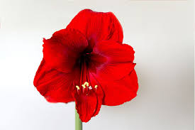 8 easy steps to grow and care for amaryllis earl may