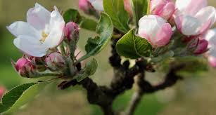 native michigan plants michigan state flower the apple blossom proflowers blog
